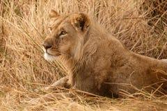 Lion - Okavango Delta - Moremi N.P. Stock Photography