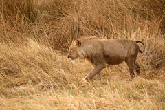 Lion - Okavango Delta - Moremi N.P. Royalty Free Stock Photo