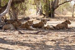 Lion - Okavango Delta - Moremi N.P. Royalty Free Stock Photo