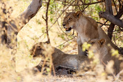 Lion - Okavango Delta - Moremi N.P. Royalty Free Stock Photography