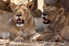 Lion - Okavango Delta - Moremi N.P. Royalty Free Stock Images