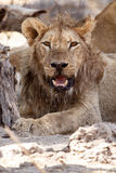 Lion - Okavango Delta - Moremi N.P. Stock Photos