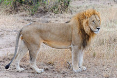 Lion in Ol Kinyei, Masai Mara Stock Photos