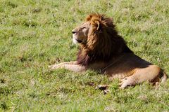 Lion. Older lion laying on grass Royalty Free Stock Image