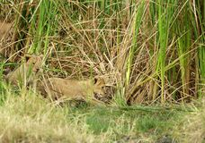 Lioness cub coming out of bushes, Masai Mara Royalty Free Stock Image