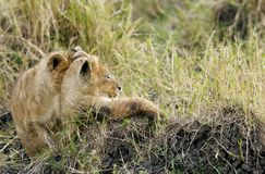 Lion cubs restin on grasses Royalty Free Stock Photo