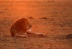 Lion in the morning sun. Lion is one of the four big cats and belongs to genus Panthera Stock Photo