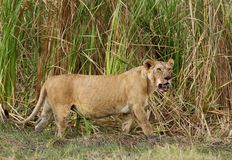 Lioness coming out of bushes, Masai Mara Royalty Free Stock Images