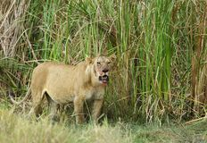 Lioness coming out bushes with stain on mouth Stock Images