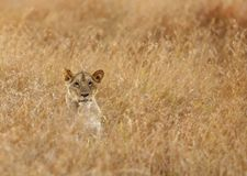 Lioness stalking. Lion is one of the four big cats and belongs to genus Panthera Royalty Free Stock Photo