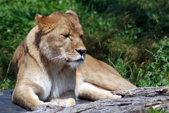 The lion Royalty Free Stock Image