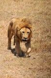 The lion Royalty Free Stock Photos