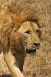 The lion Royalty Free Stock Images