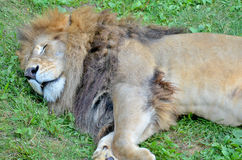 The lion Stock Image