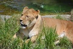 The lion Stock Photo