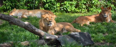 The lion Royalty Free Stock Photography