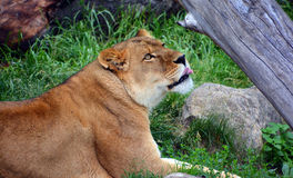 The lion Stock Photo