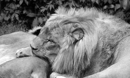 Lion is a genus Panthera, Royalty Free Stock Photography