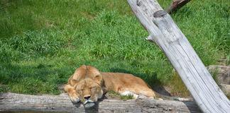 The lion Royalty Free Stock Photo