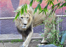 Lion. The Lion is one of the largest, strongest and powerful felines in the world second only in size to the Siberian Tiger. They are incredibly sociable animals stock photo