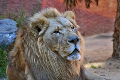 Lion. The Lion is one of the largest, strongest and powerful felines in the world second only in size to the Siberian Tiger. They are incredibly sociable animals stock images