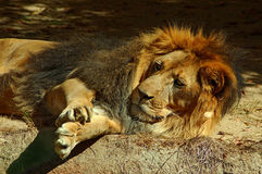 Lion. The Lion is one of the largest, strongest and powerful felines in the world second only in size to the Siberian Tiger. They are incredibly sociable animals stock image