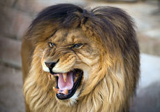Lion with opened mouth. Angry lion with opened mouth Stock Image