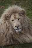 Lion from Oz Royalty Free Stock Images