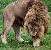 Lion pacing Royalty Free Stock Photography