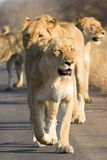 Lion Pack. Pack of lions walking down the road Royalty Free Stock Image
