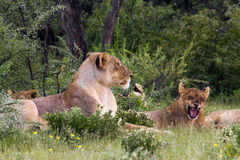 Lion pack at Etosha National Park Stock Images