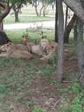 Lion pack. Male lion relaxing with his female Stock Image