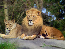 Free Lion Pair Royalty Free Stock Images - 13758699