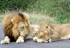 Lion pair Royalty Free Stock Photos