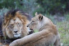 Lion pair Stock Image