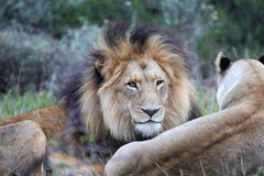 Lion pair Royalty Free Stock Image