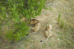 Lion pair. A pair of lions in a Sunny, hot day resting after lunch in the shade of a tree Royalty Free Stock Photography