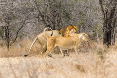 Lion pair mating Stock Image