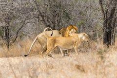 Lion pair mating Stock Image