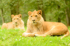Lion Pair Stock Photos