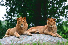 Lion pair on the rock Stock Image