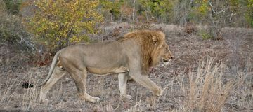 Lion Panorama Royalty Free Stock Image