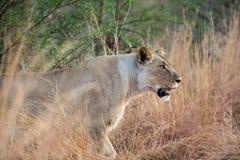 Lion Panthera femminile solo Leo sul vagare in cerca di preda al parco nazionale di Pilanesberg, Sudafrica fotografia stock libera da diritti