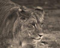 Lion Panthera leo Arkivfoto