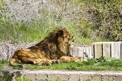 Lion, Panthera leo Stock Photo