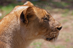 Lion (Panthera leo) Royalty Free Stock Photo
