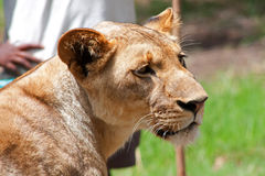 Lion (Panthera leo) Stock Photo