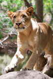 Lion (Panthera leo) Stock Images