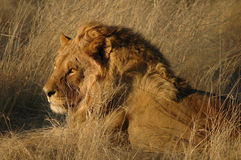 Lion (Panthera leo) Royalty Free Stock Image