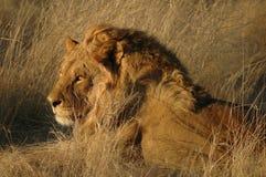 Lion (Panthera leo) royalty free stock image